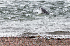 Dolphin (Andre Hauschild) Tags: water scotland highlands dolphin shore