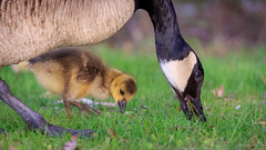 baby geese-5799 (Joe Follest Photography) Tags: baby canada mom geese spring babies goose gosling gaggle follestphotography follest