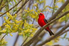 _53F9169 Scarlet Tanager (~ Michaela Sagatova ~) Tags: red male spring dundas scarlettanager pirangaolivacea birdphotography dvca michaelasagatova