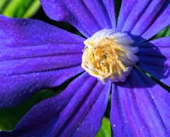 Clematis durandii (wnkremer1) Tags: flowers blue garden spring vines purple clematis purpleflower purpleflowers blueflower blueflowers
