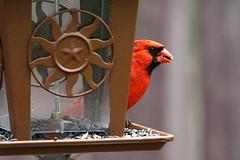 Male Cardinal enjoying a meal (Bill Striffler) Tags: new bird newjersey cardinal birding nj jersey