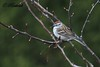 Bruant familier - Chipping sparrow (ricketdi) Tags: ngc potofgold chippingsparrow spizellapasserina avianexcellence bruantfamilier alittlebeauty coth5
