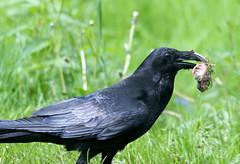 Carrion Crow (Annette Rumbelow) Tags: park camera bird sony safari wilson longleat annette wildbirds carrioncrow longleatsafaripark rumbelow a550 annettewilsonrumbelow
