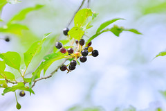 Wild cherry (damselfly-eye) Tags: