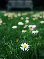 Daisy Daisy (peterphotographic) Tags: uk england white flower green london dof bokeh britain olympus depthoffield daisy wanstead eastlondon microfourthirds olympusepl5 camerabag2 epl5