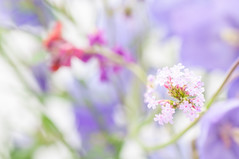 pale verbena (photoart33) Tags: summer flower soft pretty pastel pale dreamy verbena persephonesgarden