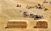 Las Cortacésped (isaacbuenobadiola) Tags: lana 85mm campo animales pastor lamancha alpacas pacas castilla hierba maron castillalamancha ovejas rebaño cordero bobino carnero pastar bobinas samyang cortacésped