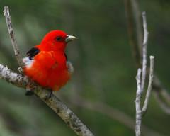 Scarlet Tanager 22  (Piranga olivacea) (egdc211) Tags: nature canon ngc 5d scarlettanager birdwatcher pirangaolivacea backyardbirding naturewatcher connecticutbird newenglandbird