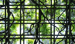 Wisteria Pergola (HorsePunchKid) Tags: gothamist brooklynbotanicgarden fabaceae wisteria wisteriafloribunda fabales japanesehillandpondgarden taxonomy:family=fabaceae taxonomy:order=fabales taxonomy:kingdom=plantae taxonomy:phylum=magnoliophyta taxonomy:claderoot=plantae taxonomy:genus=wisteria clade:magnoliopsida=fabales clade:fabales=fabaceae taxonomy:binomial=wisteriafloribunda clade:fabaceae=wisteria clade:wisteria=floribunda taxonomy:eolid=704192 taxonomy:common=japanesewisteria clade:plantae=tracheophyta clade:tracheophyta=magnoliopsida bbgcalmay bbgcalstructures bbgcalspring