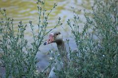 Hide & Seek (ThePeppermintOtter) Tags: plants cute bird water animal ed photography duck nest mother goose boo hidden hide and peek seek peer shrubbery a sheeran