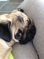 (amber.thomas99) Tags: pug