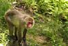 Macaque Japonais (Jessica Boulianne) Tags: zoo québec japonais singe macaque faune japanesemacaque macacafuscata stfélicien macaquejaponais macaquesjaponais zoosauvagedestfélicien