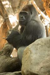 2014-05-05-10h40m58.BL7R6368 (A.J. Haverkamp) Tags: barcelona zoo spain gorilla spanje dierentuin westelijkelaaglandgorilla xebo canonef100400mmf4556lisusmlens pobrotterdamthenetherlands dob06101985 httpwwwzoobarcelonacat