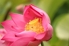 IMG_4315 (DLStar2612) Tags: lotus townsville pinkflowers lotusflower andersonpark nelumbonucifera