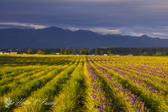 Iris Time (HK Passey) Tags: flowers iris sunset mountains green rural landscape farming farmland farms crops growing agriculture countrylife