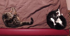 My two oldest cats, lounging on my waterbed (Hairlover) Tags: sleeping cats cat tabby kitty tuxedo kitties threelegged multiplecats