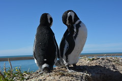 Pinguin Argentinien (grmBS) Tags: punta pinguin tombo