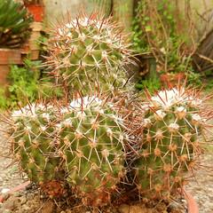 Copiapoa rupestris (Succulents Love by Pasquale Ruocco) Tags: chile cactus cacti desert atacama cactaceae succulents stabiae copiapoa rupestris desertorum cactusco pasqualeruocco succulentslove