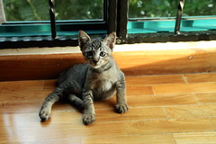 (Anisa A.) Tags: pet pets sunlight contrast cat kitten stripes kitty 8 whiskers domestic paws weeks mopi