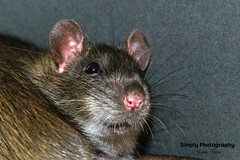 IMG_2382EN (Joanne 1967 (SIMPLY PHOTOGRAPHY)) Tags: rat rats ratties simplyphotography joanneshawpetrats