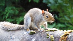 Baby Squirrel on the Roof (Daisy Waring World) Tags: babysquirrel rooftiles