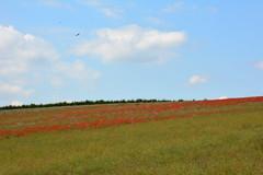 Eagle over Poppy Field (John A King) Tags: kent eagle poppy poppies eynsford