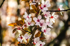 Spring (fede_gen88) Tags: pink flowers italy nature spring nikon italia branch branches lombardia lombardy vignate d5100