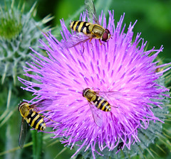 2014 07 01 Barlow Common-30 (Keith Laverack) Tags: insect hoverfly yorkshirewildlifetrust barlowcommon