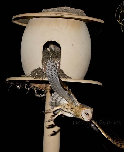 Western Barn Owl , flying  away after feeding  chicks in  nest_2921