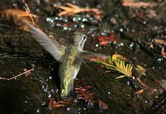 Flying bath (TJ Gehling) Tags: bird hummingbird flight elcerrito bathing annashummingbird birdinflight calypteanna calypte birdflight baxtercreek canyontrailpark