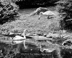 Swans in B&W (Don3rdSE) Tags: wild bw nature animals june canon eos zoo natural pennsylvania pa exotic swans valley 7d lehigh 2014 schnecksville canon7d don3rdse 3rdsiblingphotography