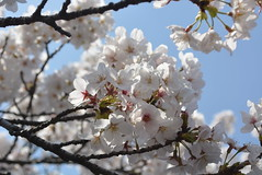 White Sakura (Simply Images) Tags: park sun white flower macro up japan season lens cherry japanese rising tokyo aperture focus branch close time you blossom images here special event albino land sakura were wish simply limited occasion simplyimages