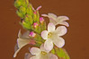 Vervain Verbena officinalis (1) (Ben Grader) Tags: england plant flower macro closeup leaf stem weed view sony picture somerset scene tamron stalk wessex vervain dioptre verbenaofficinalis dioptres slta77
