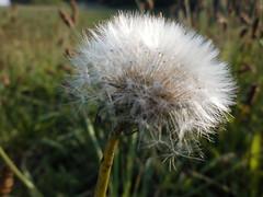 creating a nice sphere (verabellapiccolachiaragloria) Tags: wild macro nature shiny seeds sphere