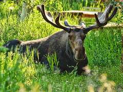 Moose in the Tall Grass (Jeff Clow) Tags: wild nature animals wildlife moose bull grasses encounter bullmoose grandtetonnationalpark jacksonholewyoming jeffclowphototour