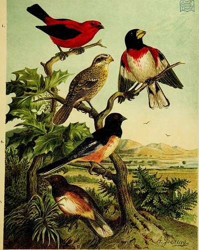 "Image from page 188 of ""Our native birds of song and beauty, being a complete history of all the songbirds, flycatchers, hummingbirds, swifts, goatsuckers, woodpeckers, kingfishers, trogons, cuckoos, and parrots, of North America"" (1893)"