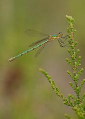Emerald Damselfly Lestes sponsa (Iain Leach) Tags: insect image dragonfly wildlife photograph damselfly odonata pondlife zygoptera emeralddamselfly birdphotography wildlifephotography lestessponsa