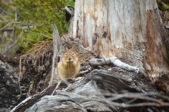 Golden-mantled ground squirrel (d*lindsay) Tags: fauna washington mountrainiernationalpark goldenmantledgroundsquirrel glacierbasintrail callospermophiluslateralis