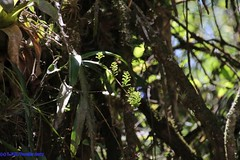 Polystachya estrellensis Rchb.f. - in situ (Luiz Filipe Varella) Tags: orquídeas do brasil espécies brasileiras no habitat mata atlântica atlantic forest floresta polystachyas orchids brazil brazilian species rio grande sul gaúchas orchidaceae reichenbach rchb f luiz filipe klein varella