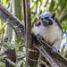 Geoffroy's tamarin monkey - wild titi monkeys gamboa panama pandemonio 2017 - 02