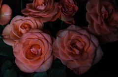 DSC_4725 (PeaTJay) Tags: nikond750 reading lowerearley berkshire macro micro closeups gardens indoors nature flora fauna plants flowers bouquet rose roses rosebuds