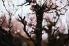 Sanrokugama : Plum Blossoms (Nazra Z.) Tags: bizen okayama japan 2017 raw spring plumblossoms 梅の花 vscofilm