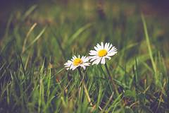 Flower-6442 (EB_Creation) Tags: daisy flower flowers spring springtime green grass white bokeh d7100 dof depthoffield nikon nikond7100 nikkor 85mm 850mmf18 nikon850mmf18 nature primavera amateur