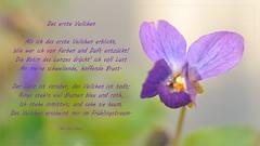 the first violet (nirak68) Tags: blossom veilchen viola 2017ckarinslinsede 7dwf crazytuesdaytheme picturewithaddedtext blüte frühling gedicht 087365