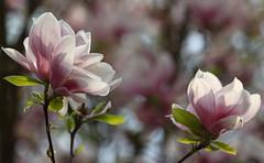 Magnolia HeyDay (AnyMotion) Tags: magnolia magnolie fullbloom invollerblüte blossom blüte bokeh neighbourhood nachbarschaft backyard hinterhof 2017 anymotion frankfurt nature natur plants pflanzen 7d2 canoneos7dmarkii garden garten spring frühling primavera printemps colours colors farben pink rosa ngc npc