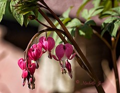 April 2, 2017 - Bleeding Hearts in bloom. (Michelle Jones)