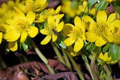 Winterlinge [ Vintergäck ] ( Eranthis hyemalis ) (ritschif) Tags: winterlinge eranthishyemalis vintergäck natur outdoor blumen wildflowers wildblumen blommor