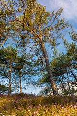 sunny tree (maka3110) Tags: föhrenwald ötztal wald tirol nikon sigma 1770 nikon7100 föhre himmel alpen landschaft weitwinkel blumen