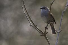 Singer portrait (Prunella modularis) (kalakeli) Tags: heckenbraunelle prunellamodularis dunnock birds vögel wienburgpark münster frühling spring march märz 2017