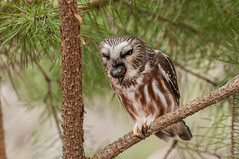 Northern Saw-whet Owl (bakosmike) Tags: northern sawwhet owl tiny small raptor nikon d300 sigma 150600mm contemporary whitbyont canada pellet